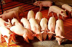 Полнорационный комбикорм СК-3 для кормления ремонтного молодняка (свинки 40-80 кг) - СМОРГОНСКИЙ КОМБИНАТ ХЛЕБОПРОДУКТОВ