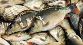 Свежая рыба (карп, амур, толстолобик)