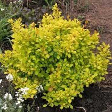 Барбарис зеленый декоративный