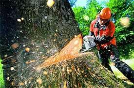 Вырезка (вырубка) деревьев (от 10 см. до 40 см. в диаметре).