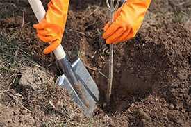 Посадка саженцев деревьев с открытой корневой системой