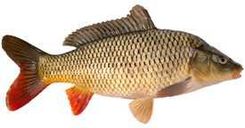 Выращивание и реализация свежей рыбы