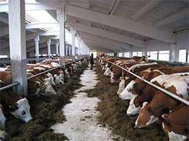 Разведение крупного рогатого скота (мясное животноводство)