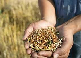 Очитска зерна