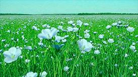 Выращивание и реализация льна